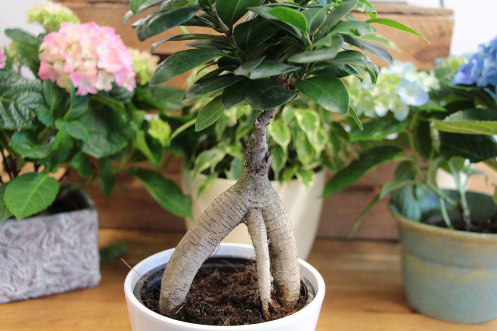 Ficus Ginseng mit knorrigem, leicht gedrehtem Stamm