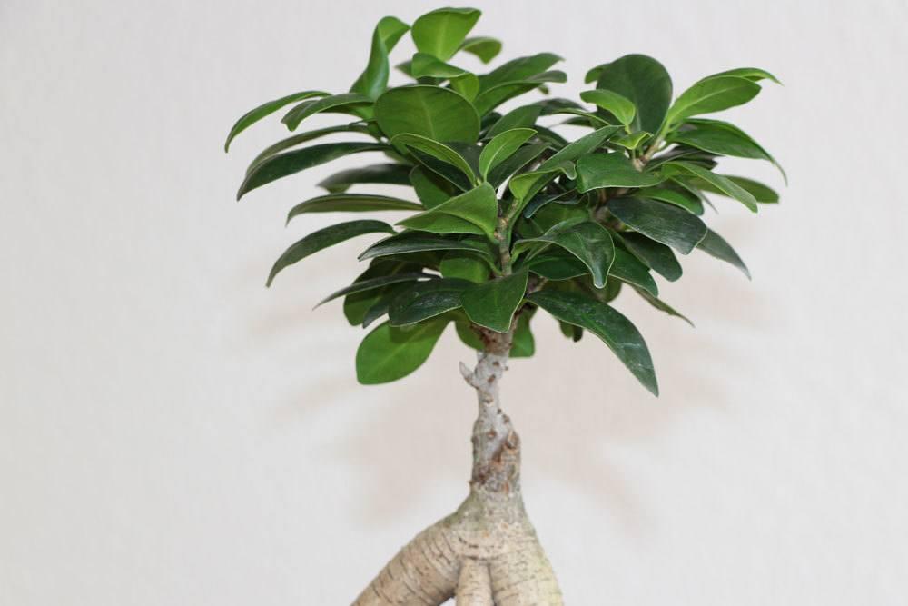 Ficus Ginseng mit seinen immergrünen Blättern