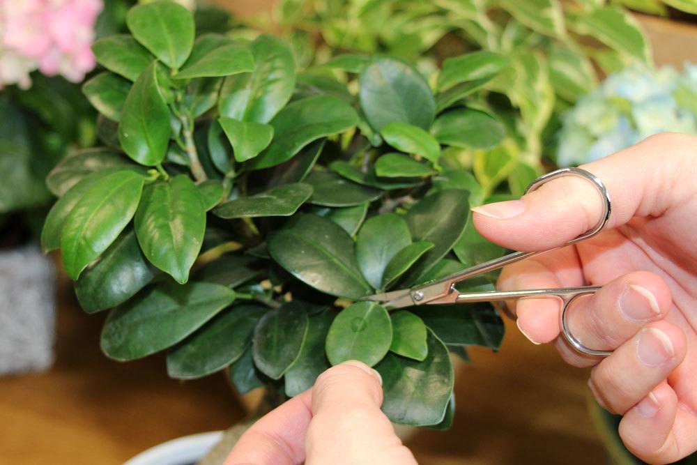 Ficus Ginseng sollte regelmäßig geschnitten werden