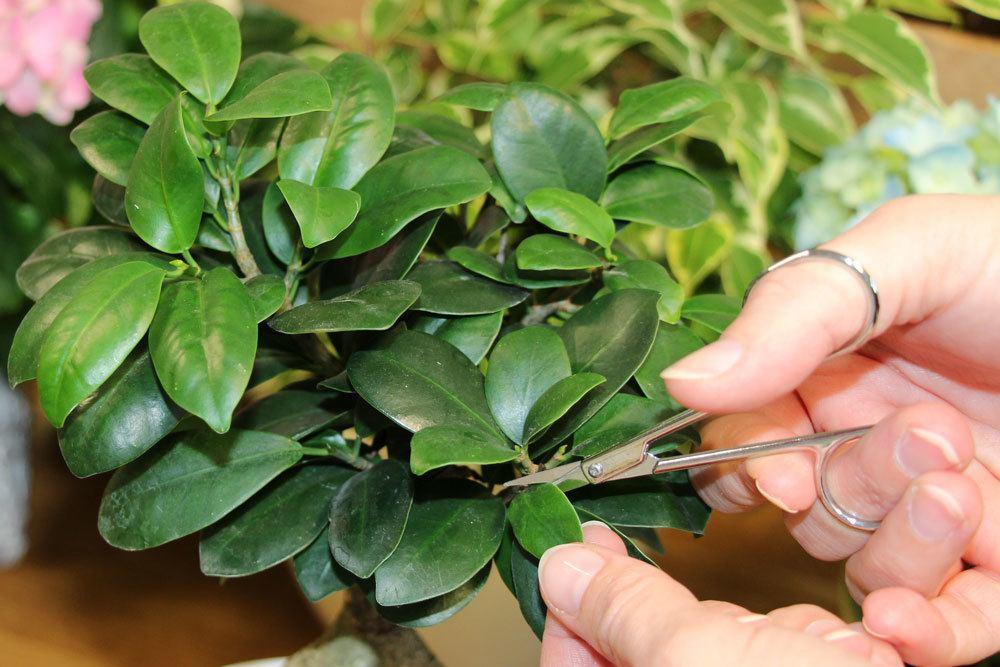 Ficus ginseng als bonsai pflege und schneiden for Zimmerpflanzen dekorativ