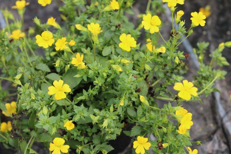 Goldstaub-Pflanze, Mecardoni 'Gold Dust'