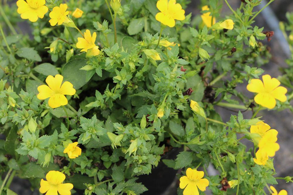 Goldstaub-Pflanze ist ein Wegerichgewächs
