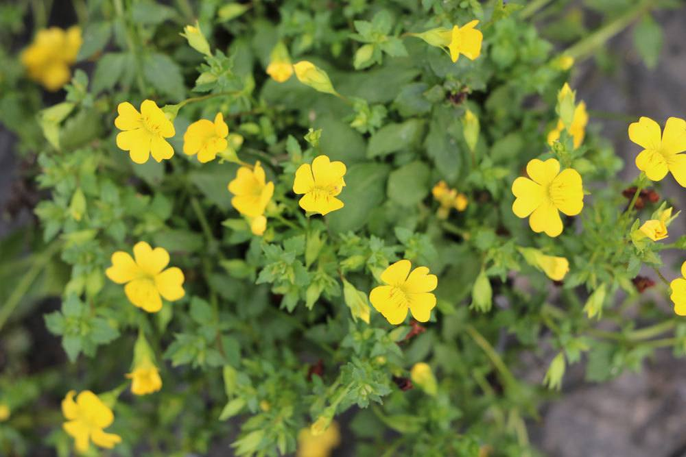 Goldstaub-Pflanze mag einen sonnigen Standort