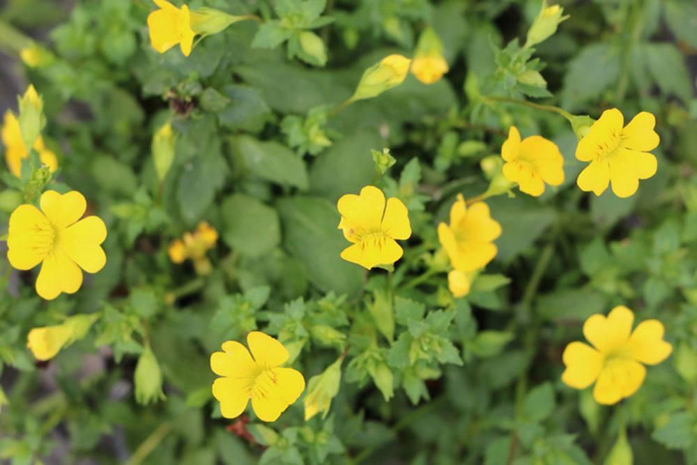 Goldstaub-Pflanze ist nicht winterhart