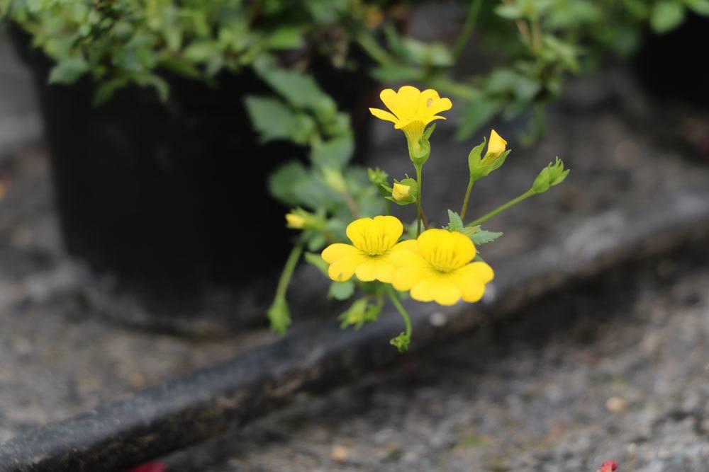 Mecardoni 'Gold Dust' ist eine schöne Beetpflanze