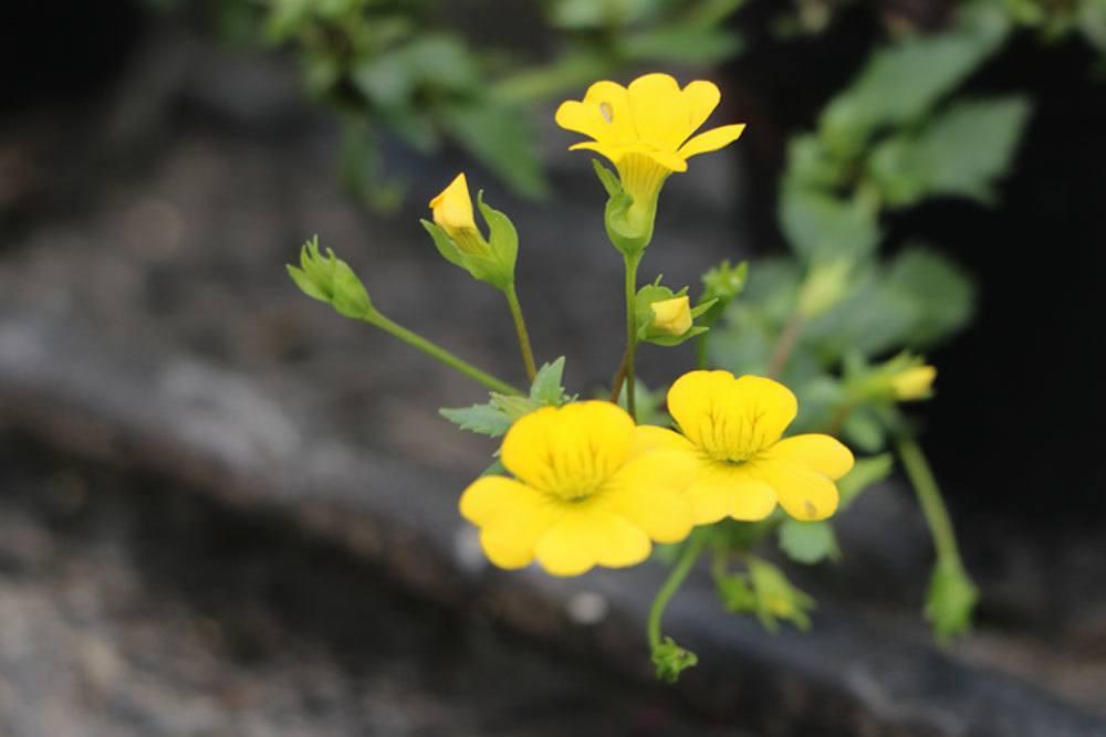 Mecardoni 'Gold Dust' mit leuchtend gelben Blüten