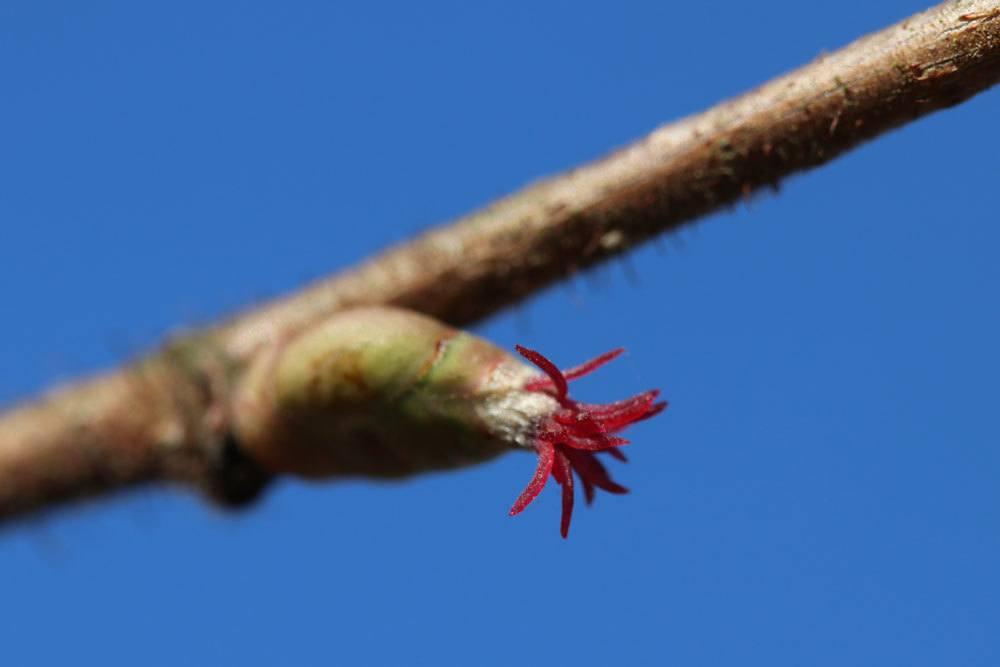 Haselnusszweig mit sich öffnender Blütenknospe