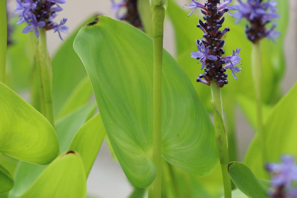 Pontederia cordata mit dunkelgrünen, großen Blättern