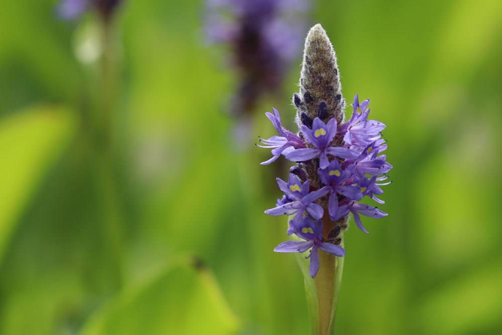Herzblättriges Hechtkraut mit violett-blauen kleinen Blüten