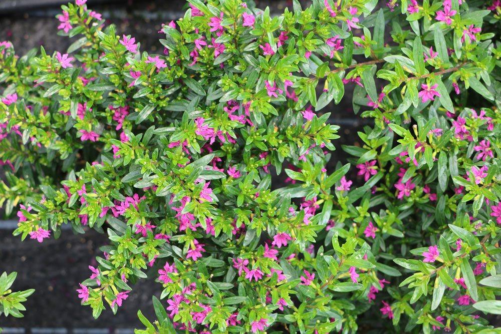 Cuphea hyssopifolia, Japanische Scheinmyrthe