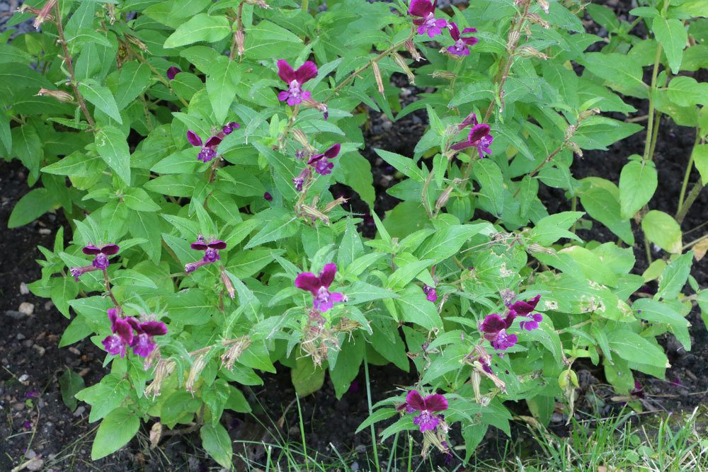 Cuphea viscosissima, Klebriges Köcherblümchen