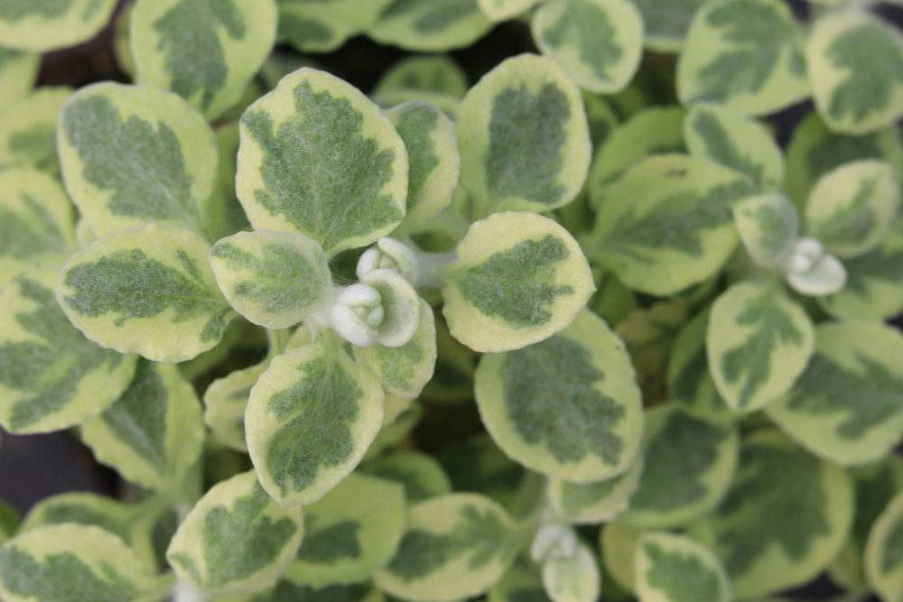 Lakritz-Strohblume wächst überhängend