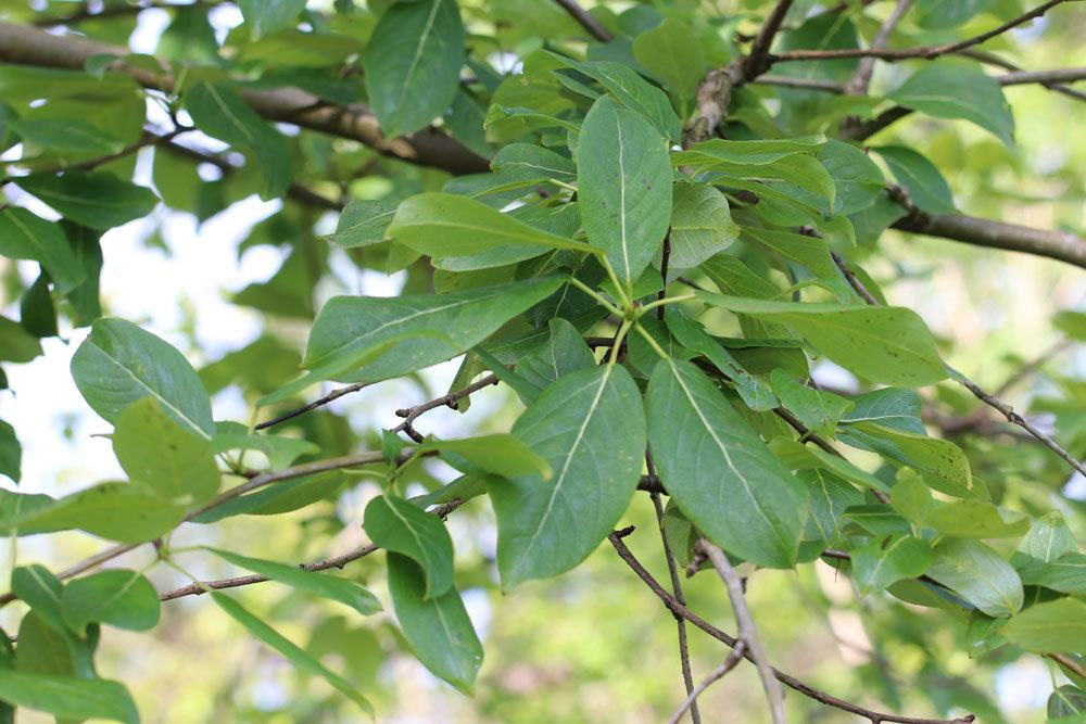 Populus koreana, Koreanische Balsam-Pappel