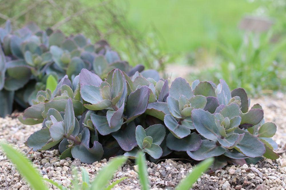 Sedum telephium Xenox, Hohe Fetthenne, Garten-Fettblatt