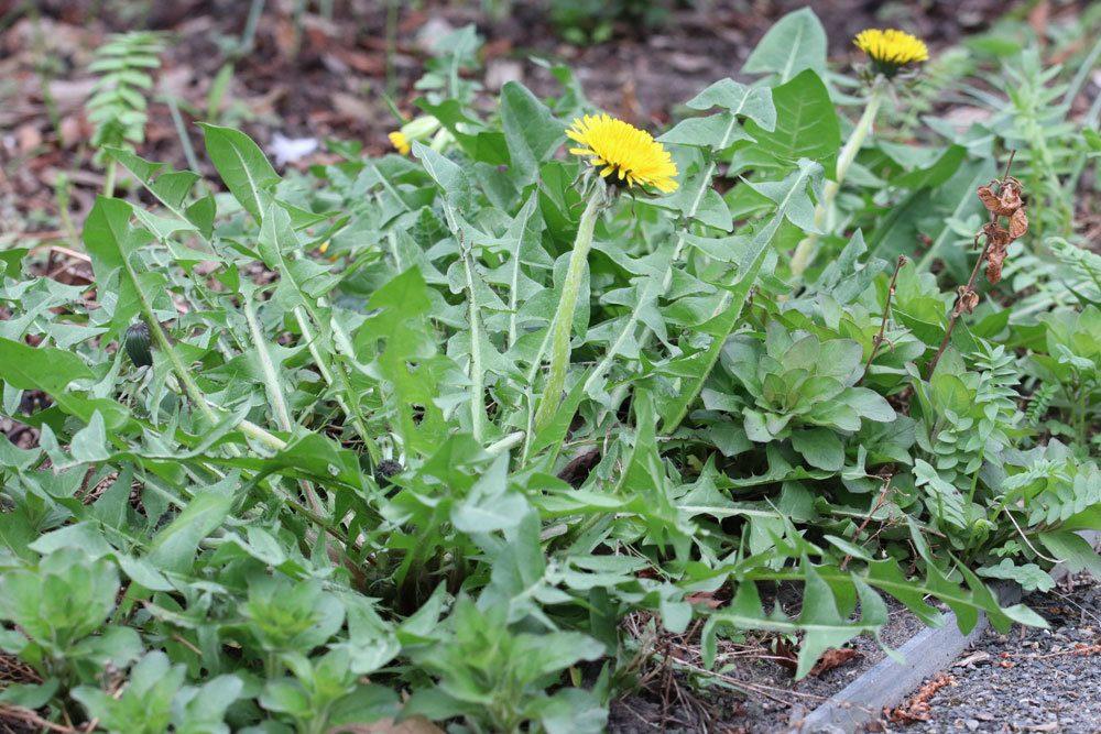 Taraxacum sect. Ruderalia, Löwenzahn