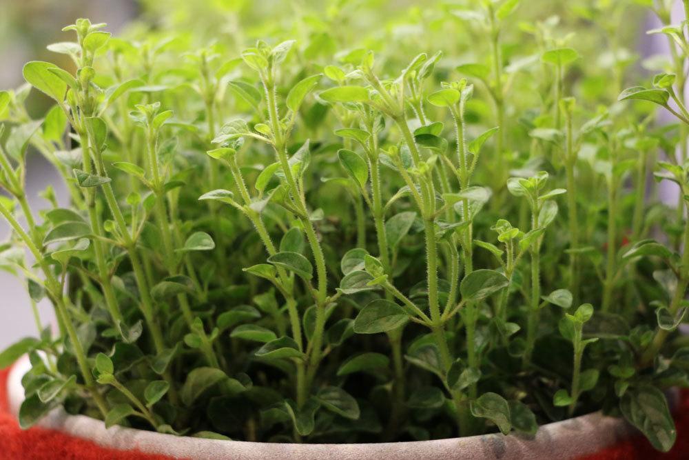 Origanum vulgare, Oregano