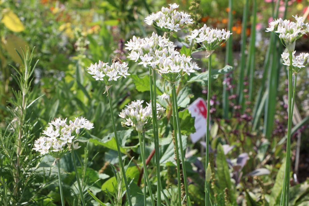 Allium tuberosum, Knoblauch-Schnittlauch, Schnittknoblauch