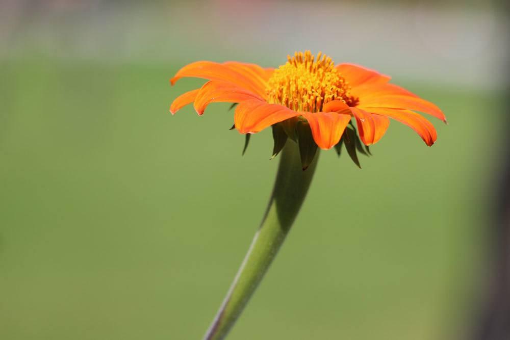 Mexikanische Sonnenblume ist ein pflegeleichtes Gewächs
