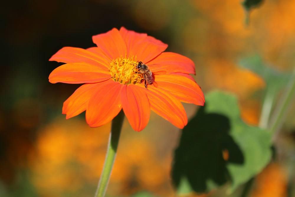Mexikanische Sonnenblume ist eine aparte Zierpflanze