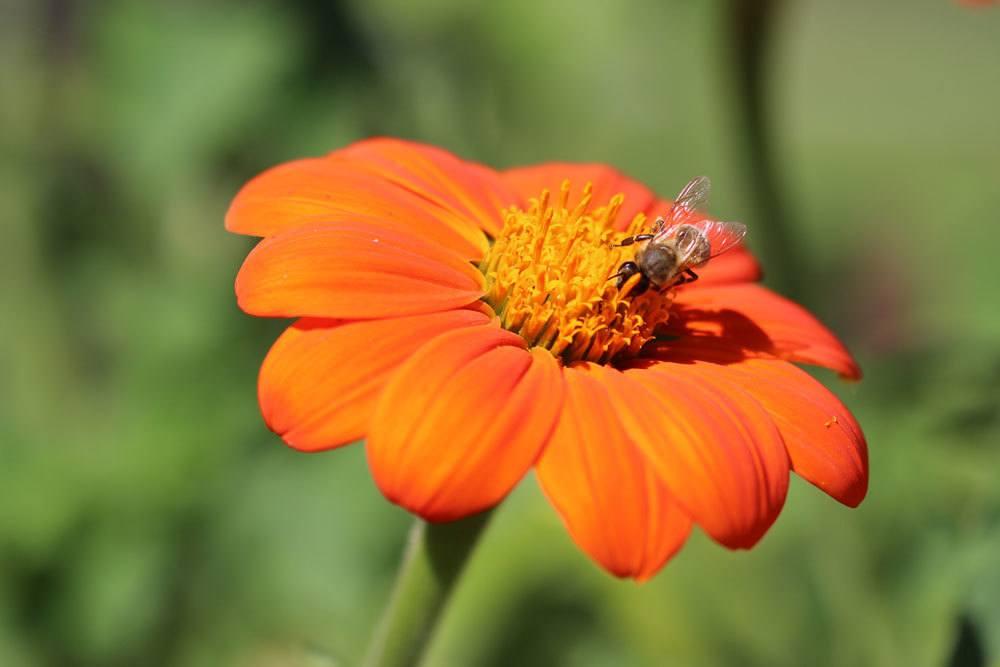 Mexikanische Sonnenblume mit leuchtend orangener Blütenfarbe