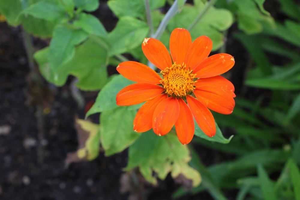 Mexikanische Sonnenblume, Tithonia rotundifolia