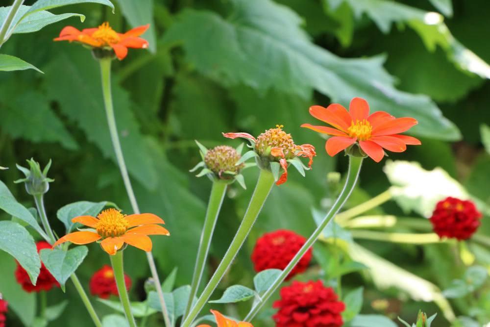 Tithonia rotundifolia bevorzugt einen neutralen Boden