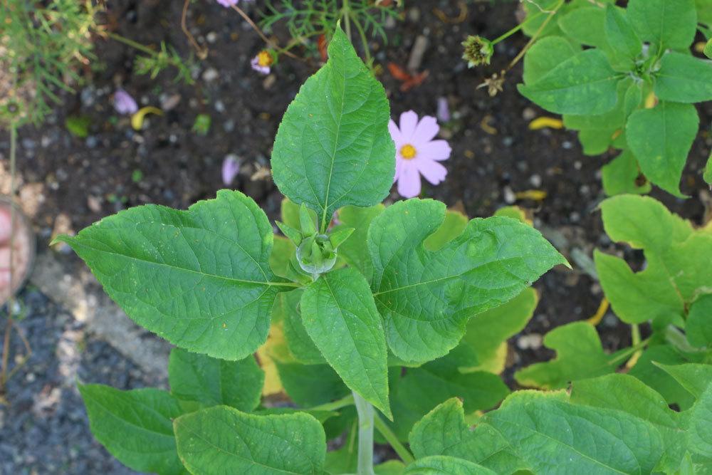 Tithonia rotundifolia ist eine einjährige Pflanze
