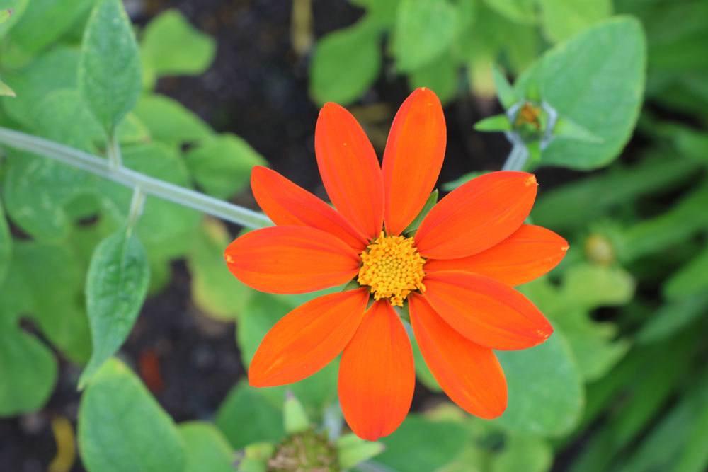 Mexikanische Sonnenblume ist nicht winterhart