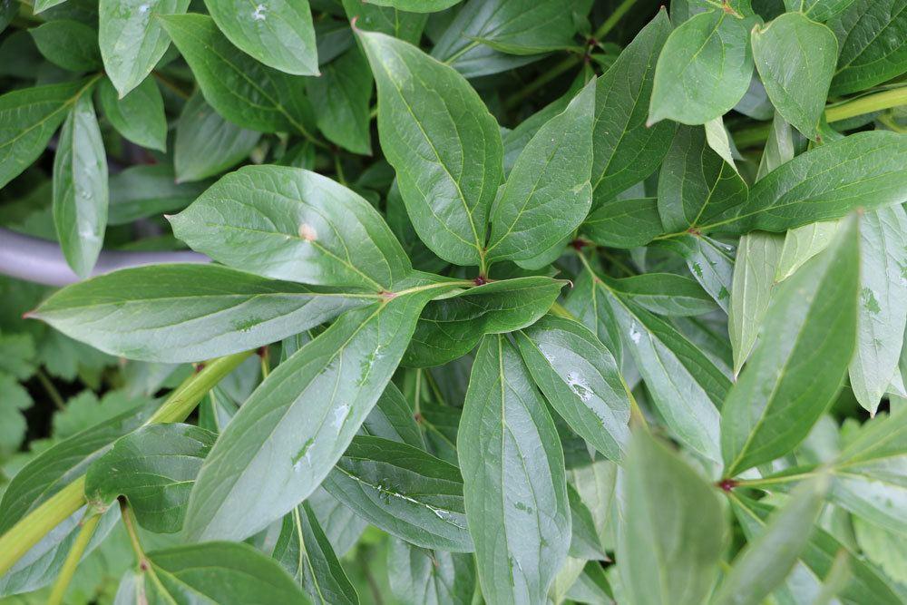 Pfingstrosen mit ihrem grünen Laubkleid