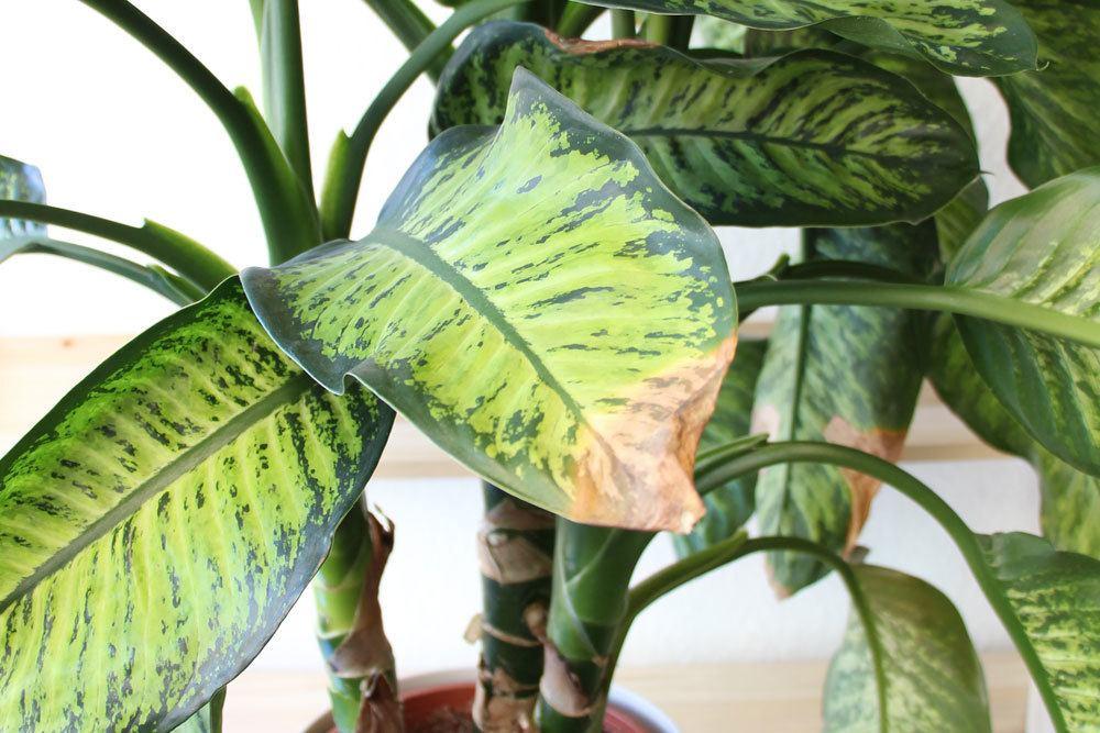 Blattspitzen an Zimmerpflanzen werden braun