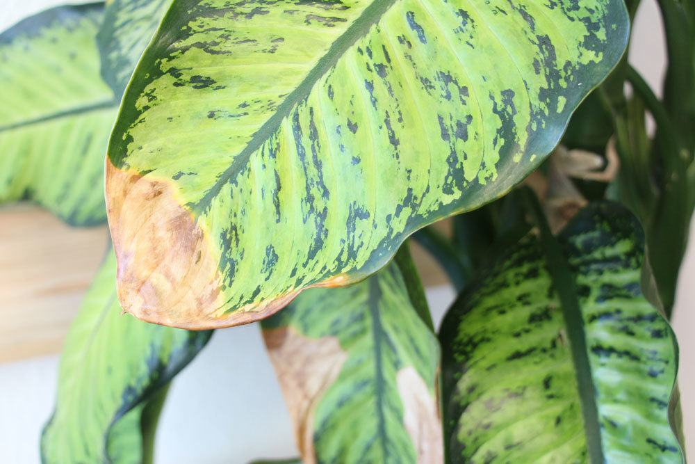 pflanzen doktor gelbe bl tter braune blattspitzen an zimmerpflanzen