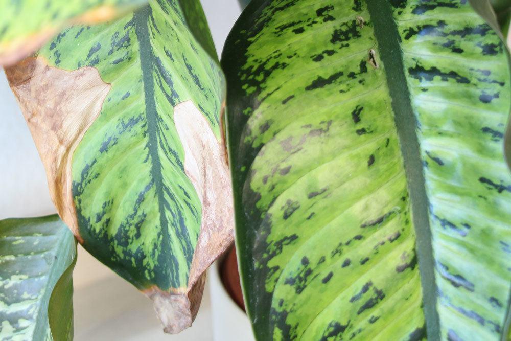 Pflegefehler können zu Blattverfärbungen bei Pflanzen führen