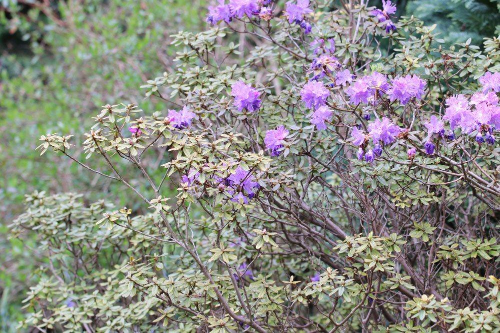 Rhododendron russatum ist für Mensch und Tier giftig