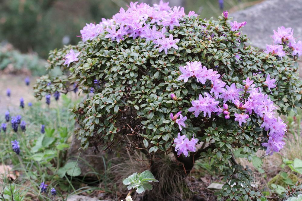 Rhododendron russatum 'Gletschernacht' ist immergrün