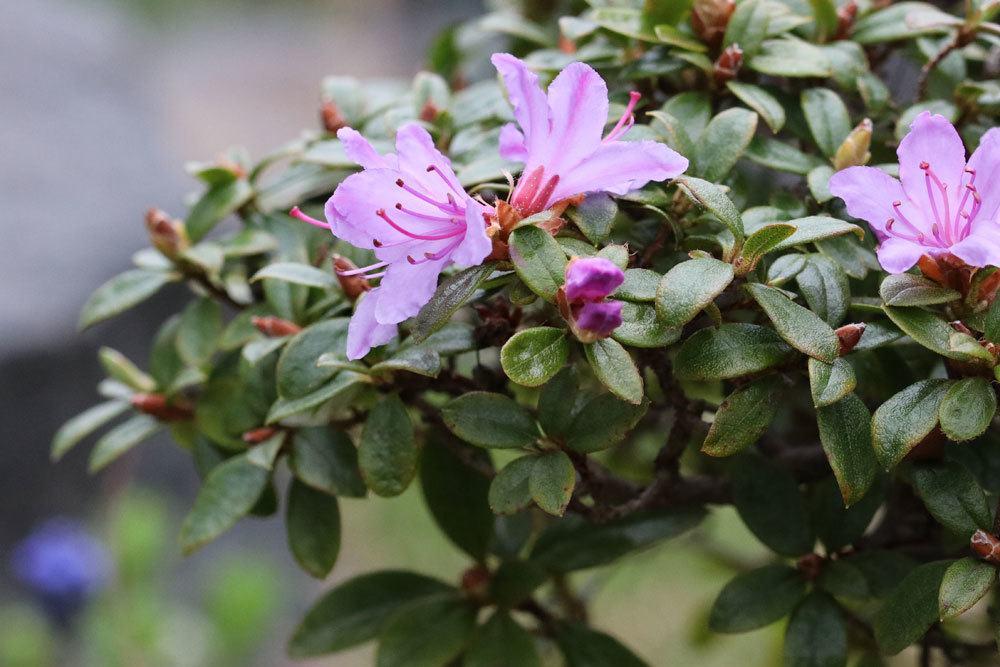 Rhododendron russatum wächst bis 110 Zentimeter hoch
