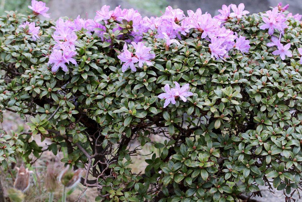 Rhododendron russatum braucht einen sonnigen bis halbschattigen Standort