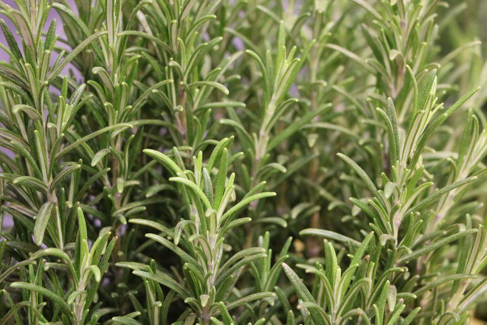 Rosmarin mit seinen nadelartigen Blättern