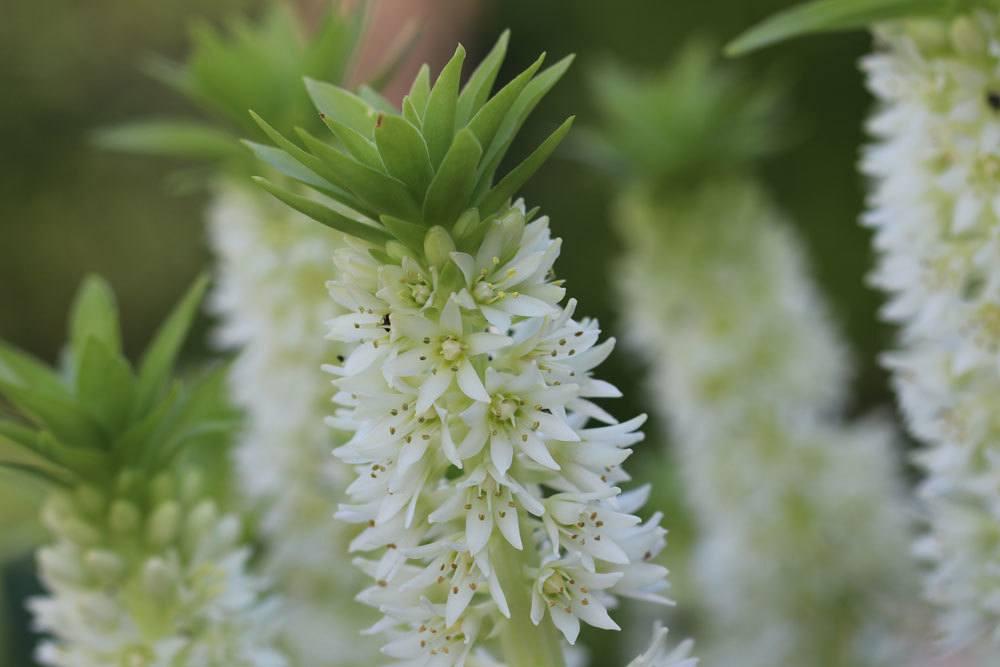 Eucomis wird auch Ananasblume oder Ananaslilie genannt