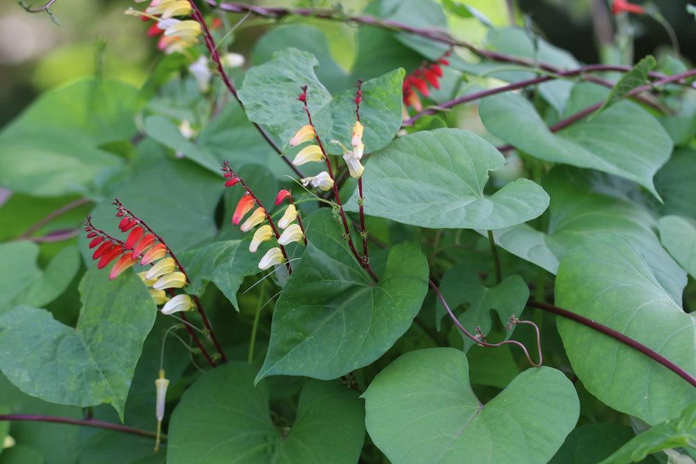 Ipomoea lobata ist eine Schlingpflanze