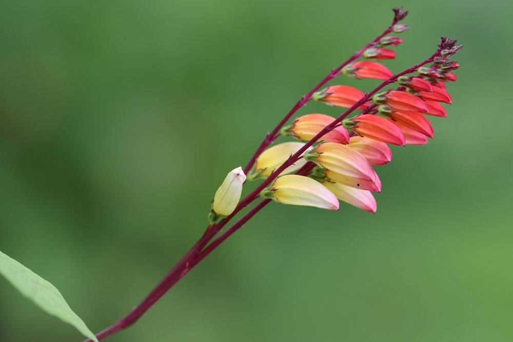 Blütenrispe der Sternwinde