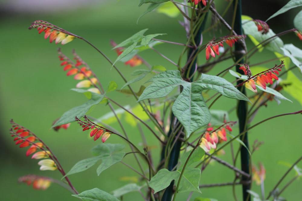 Ipomoea lobata ist eine beliebte Kletterpflanze