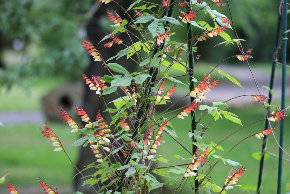 Sternwinde ist eine recht pflegeleichte Pflanze