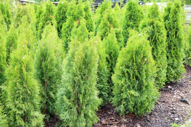 Thuja, Lebensbaum, kleinbleibend