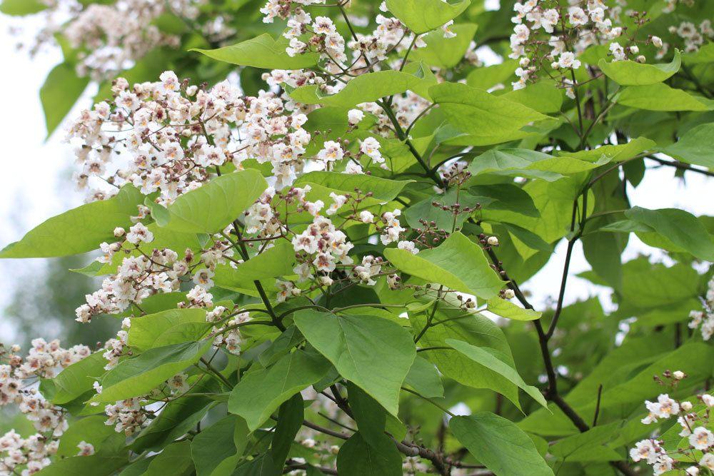 Trompetenbaum, Catalpa schneiden