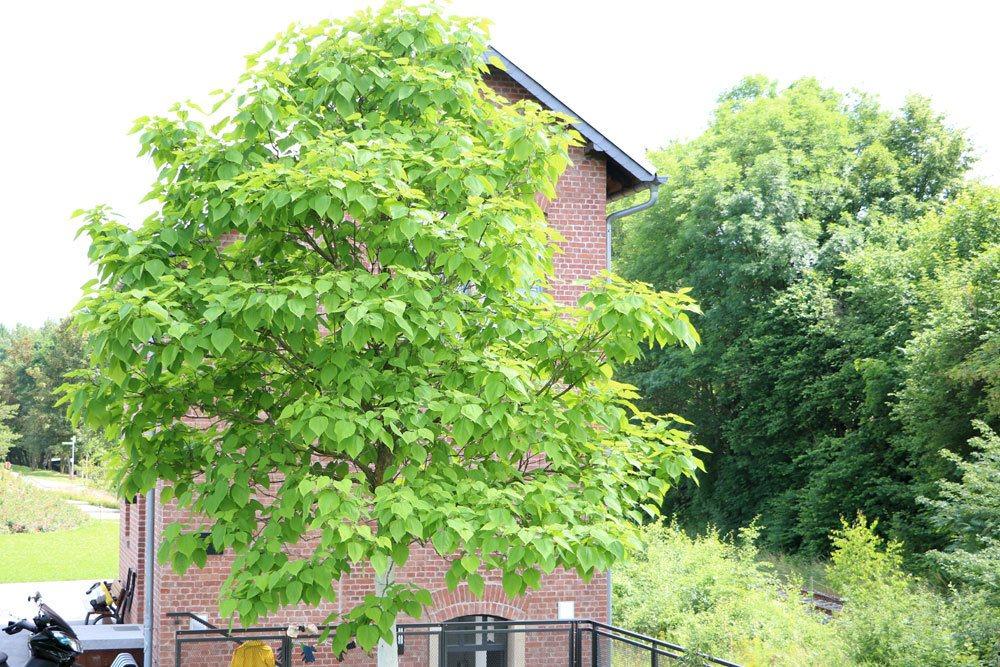 Trompetenbaum sollte in seinem Wachstum reguliert werden