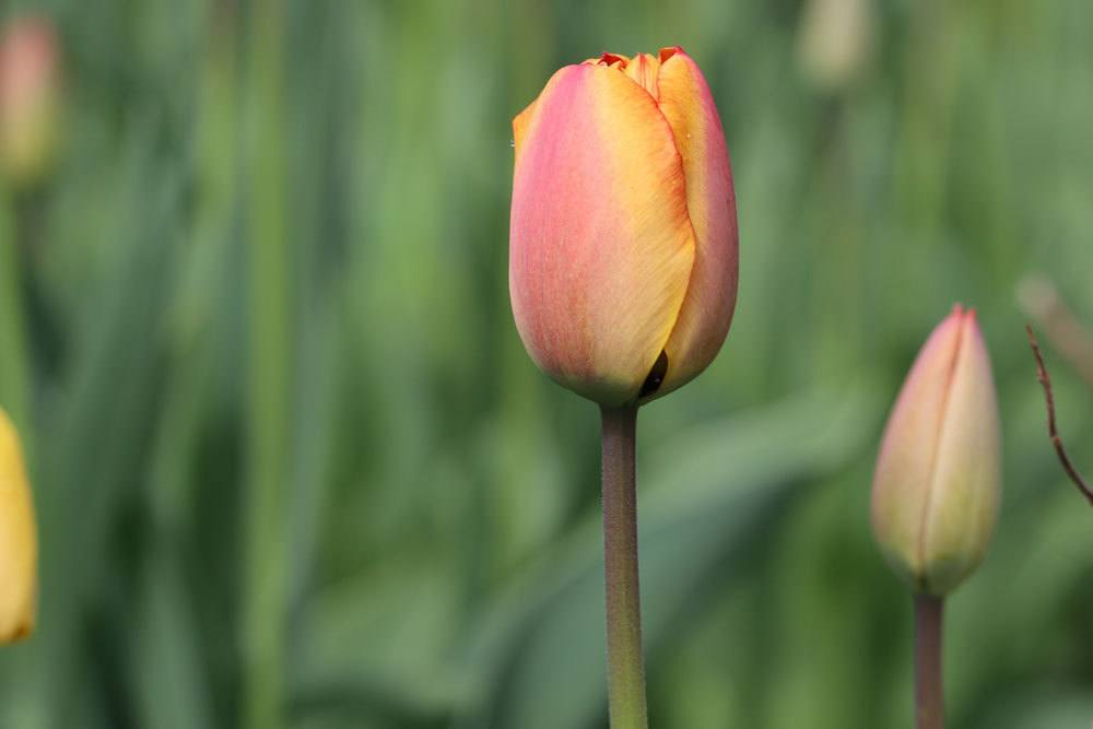 Tulpen brauchen den richtigen Boden