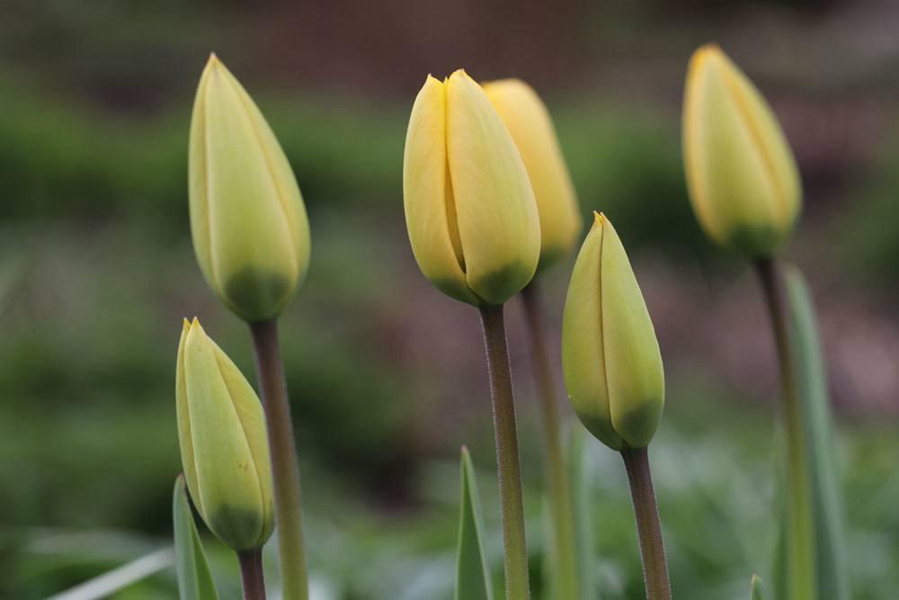 Tulpen mit gelben Blütenknospen