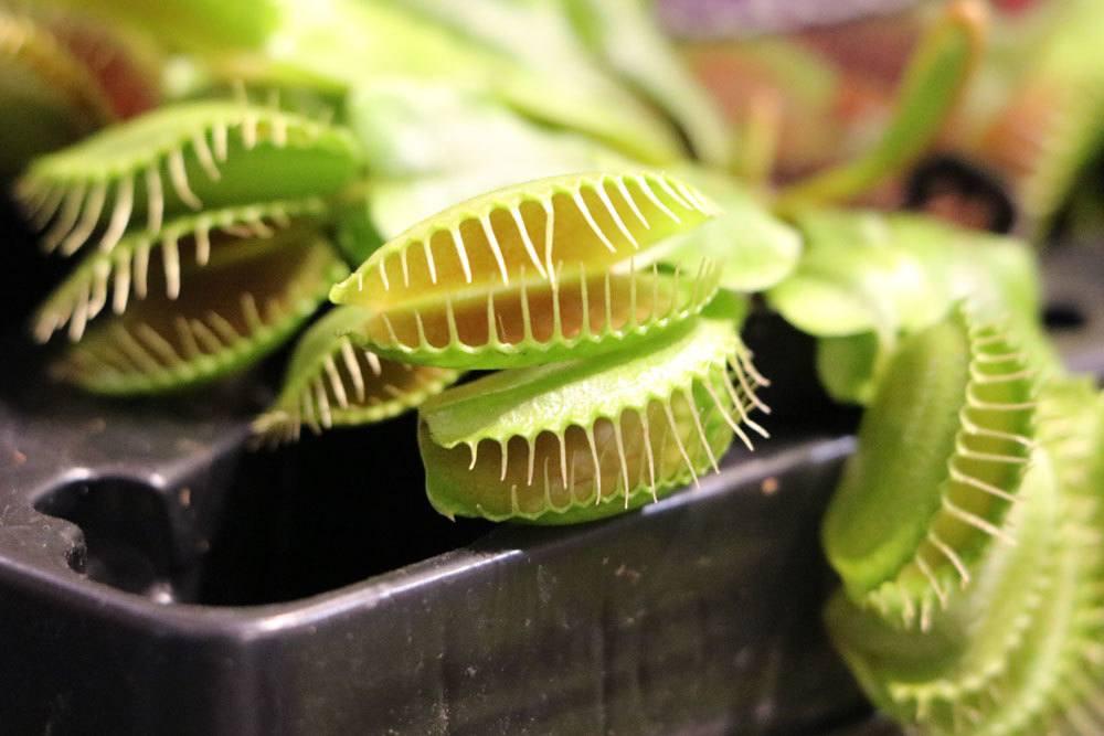 Dionaea muscipula mag einen vollsonnigen Standort