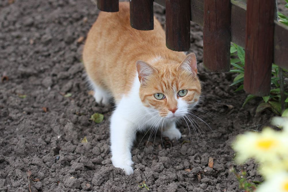 Katzen im Garten mit der Verpiss-Dich-Pflanze vertreiben