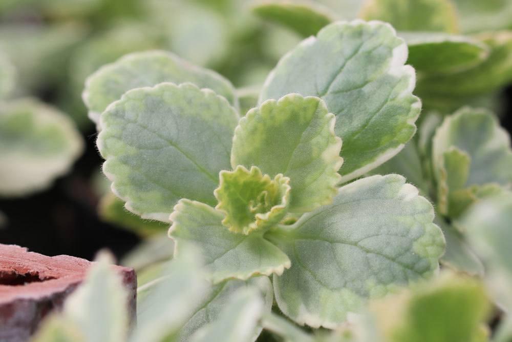 Verpiss-Dich-Pflanze mit vielen ätherischen Ölen vertreibt Tiere aus Gärten